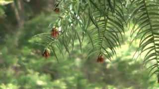 30秒の心象風景3937・珍しい樹木~御形神社・広葉杉~