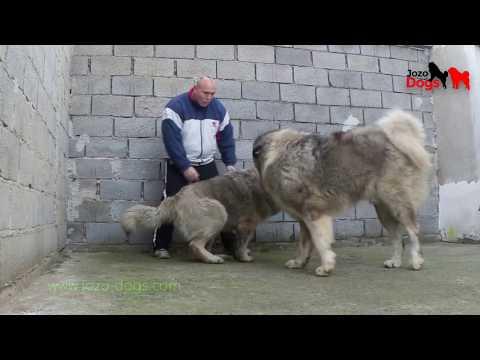 Animals attack - Bizon  attacks female