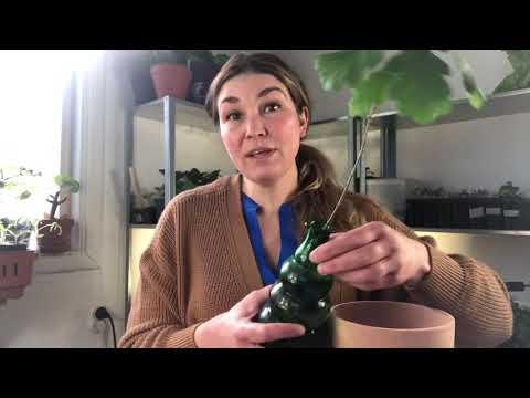 Miniatyrträd från ekollon kastanj hassel driva upp och plantera om