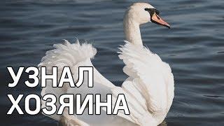 Лебедь узнал хозяина спустя 3 месяца разлуки - доброе видео