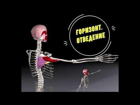 Вся биомеханика плечевого сустава
