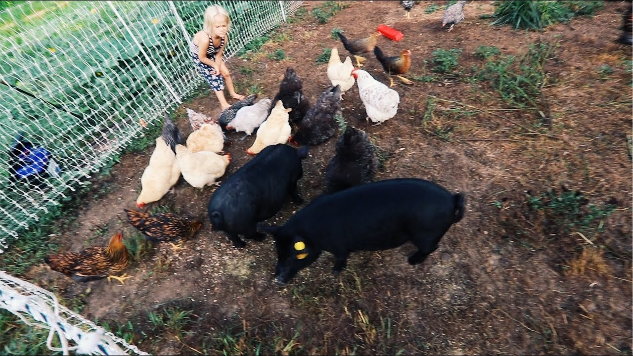 pigs-bust-into-the-chickens-anti-climatic