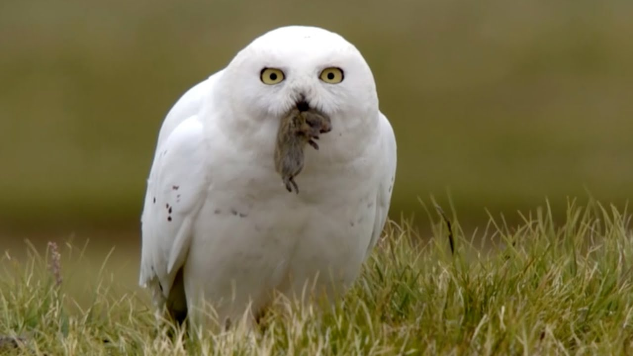 Snowy Owl Adaptations Diagram 80cc Bike Motor Wiring Chicks Chow Down Animal Super Parents Episode