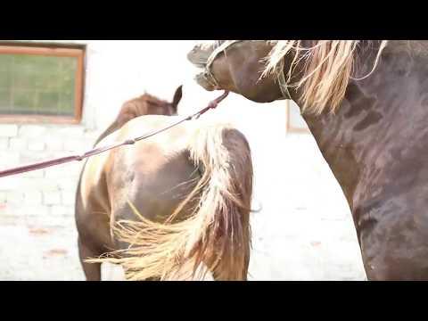 Как осеменяют лошадей видео