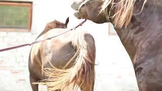 Особенное осеменение лошадей в Беларуси