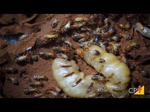 Clique e veja o vídeo Curso Controle de Cupins em Áreas Agrícolas, Pastagens e Construções Rurais - Prevenção - Cursos CPT