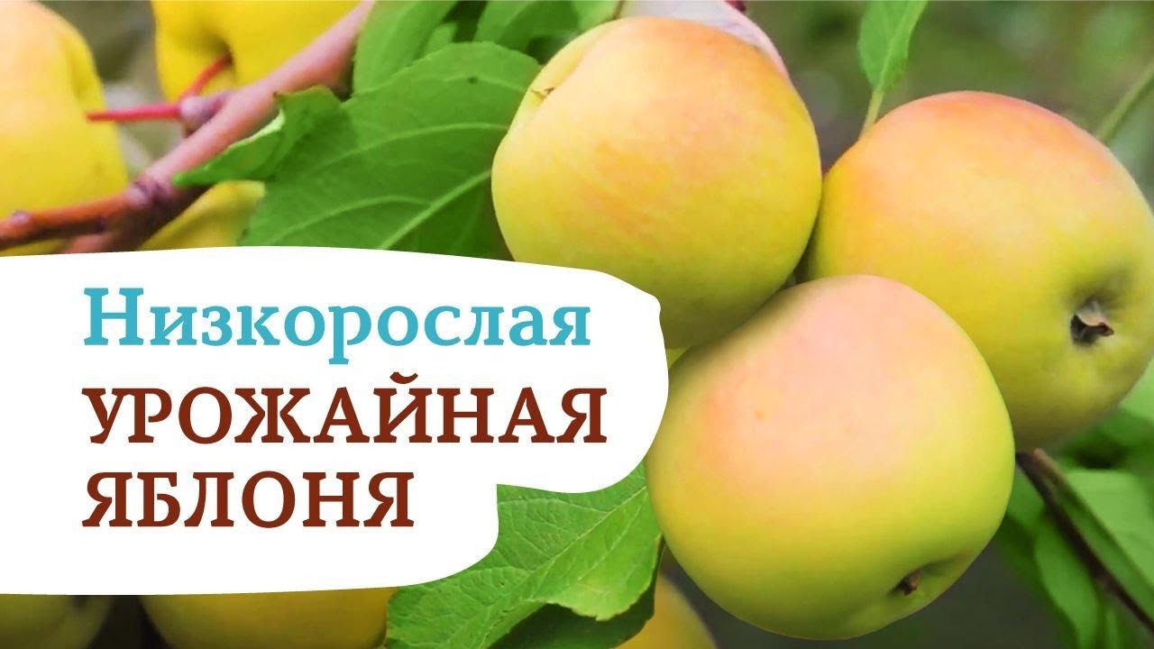 Яблоня ЧУДНОЕ. Один из лучших сортов яблоня для Сибири и Урала