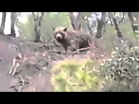 first seen of The Atlas Brown Bear after last killed one on 187O on algeria
