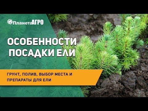🌲 Особенности посадки ели: грунт, полив, выбор места и препараты для ели 🌿 Планета Агро