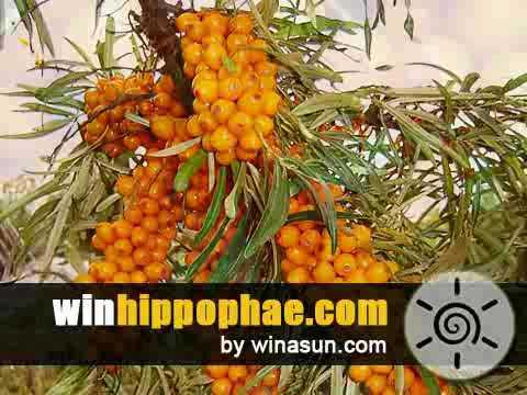 Hippophae by Winasun
