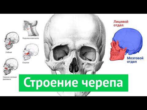 Видеоурок череп