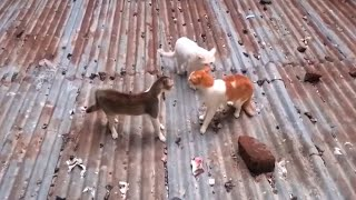 3 country cats fight each other on the roof