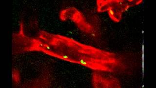 Intravital microscopy Neisseria meningitidis