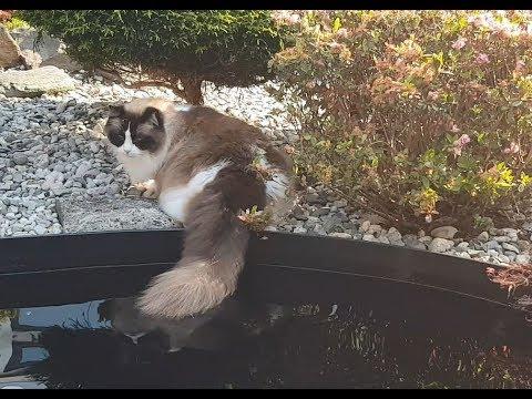 Tail Fishing   (Timo the Ragdoll Cat)