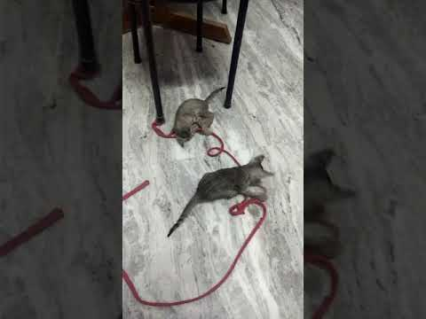 Kittens playing with rope