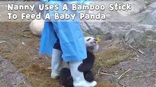 Nanny Uses A Bamboo Stick To Feed A Baby Panda | iPanda