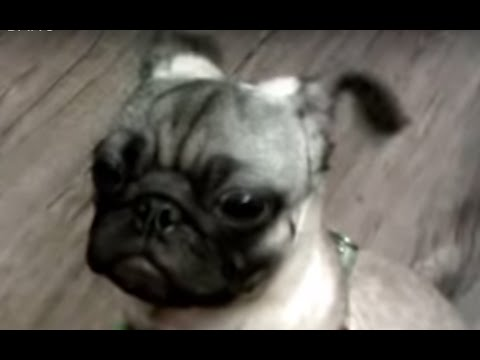 "Cute Pug Wiggle his Ears when heard ""BANG"""
