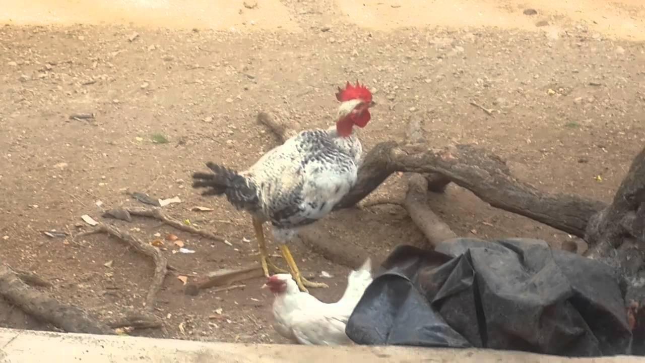 Grande gallo POTn
