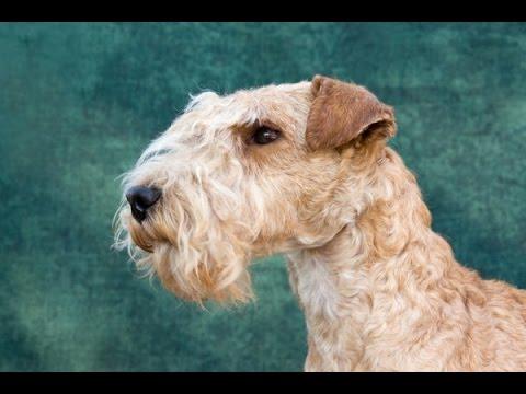 Lakeland terrier - Raza de Perros