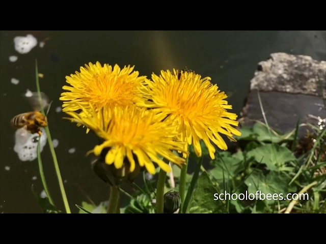 Bee Selecting Flower Slow Motion