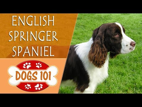 Dogs 101 - ENGLISH SPRINGER SPANIEL - Top Dog Facts About the ENGLISH SPRINGER SPANIEL