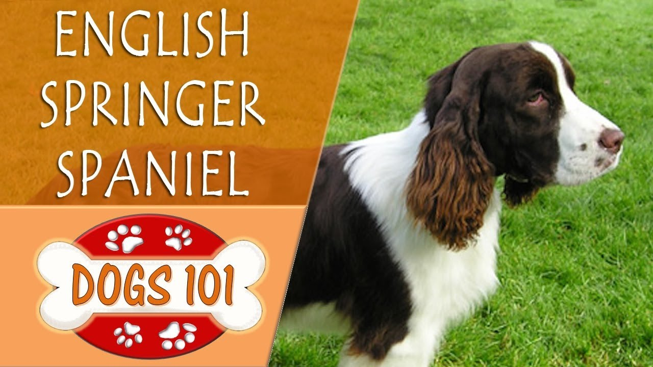 Dogs 101 - ENGLISH SPR...