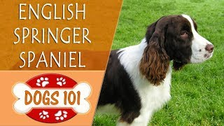 Dogs 101  ENGLISH SPRINGER SPANIEL  Top Dog Facts About the ENGLISH SPRINGER SPANIEL