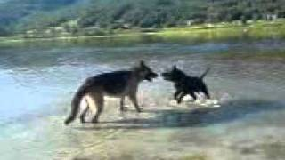 Staffordshire Bullterrier And German Shepherd Playing In The Water