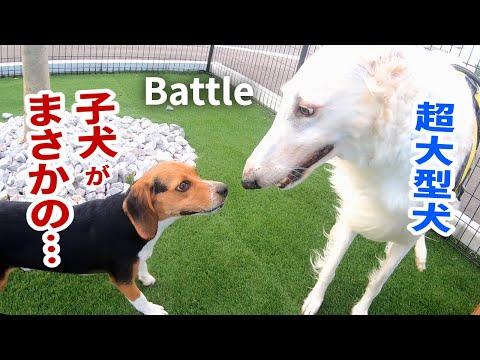 Beagle puppy vs Huge Dog Borzoi at dog park