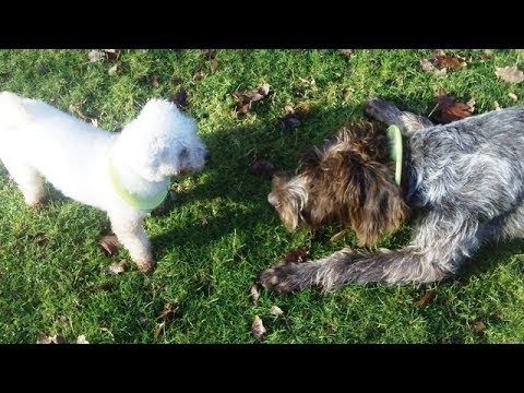 German Wire-Haired Pointer Snuggs meets Bichon Peppa.