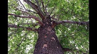 BU AĞAÇLARA DOKUNAN YANDI - Kayseri'deki Anıt Ağaçlar