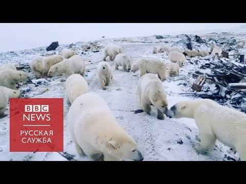 Белые медведи заходят