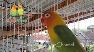 Suara Lovebird Memanggil Kawan, Bikin Labet Satu Kota Bunyi Bersahutan Dan Belajar Ngekek Panjang