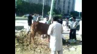 muzammil bhai cow qurbani.3gp