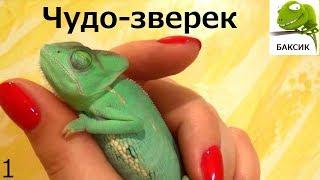 ВЛОГ Хамелеона Бакса Vlog chameleon Bax asleep 變色龍 Йеменский Chamaeleo calyptratus