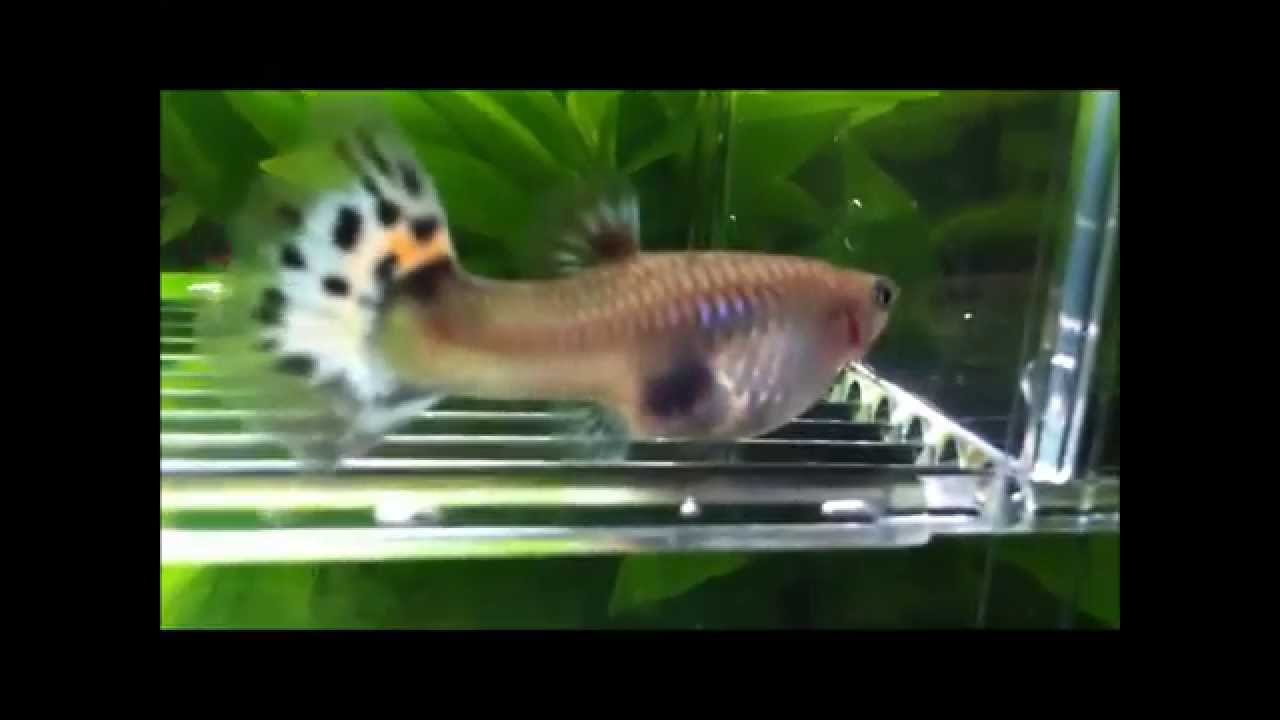 Pregnant guppy giving birth funnycat tv for How long is a guppy fish pregnant
