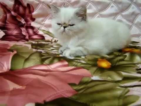 Экзотический котенок калико табби - YouTube