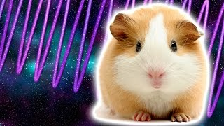 Cosmic Guinea Pig