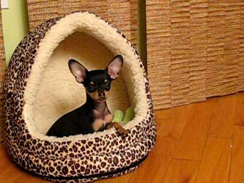 Russian Toy Terrier, a puppy girl, 11 weeks old