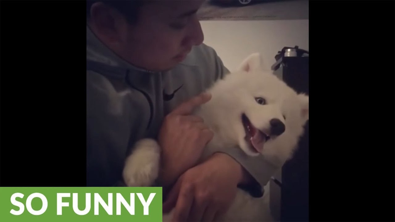 husky-puppy-refuses-to-be-scolded-by-owner