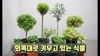 외목대 토피어리 수형로 키울 수 있는 식물 종류(장미허…