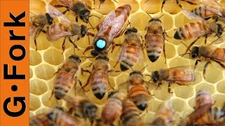 How to Requeen a beehive : Beginning Beekeeping : GardenFork.TV