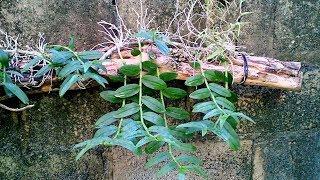 Орхидея Dendrobium anosmum кейки. Обзор посадки. Доминикана.