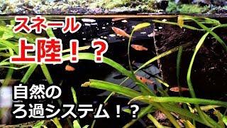 自然のろ過システム!スネール(貝)が上陸!?【滝と川のテラリウム水槽】