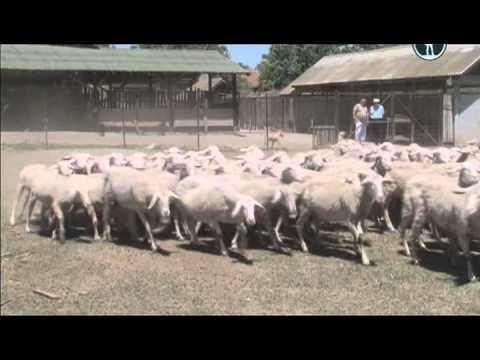 Планета собак Сербская низинная овчарка