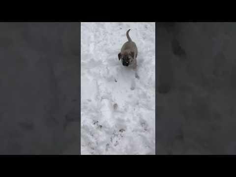 Kangal puppy