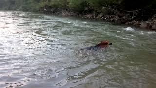 Собаки...Купание в горной реке