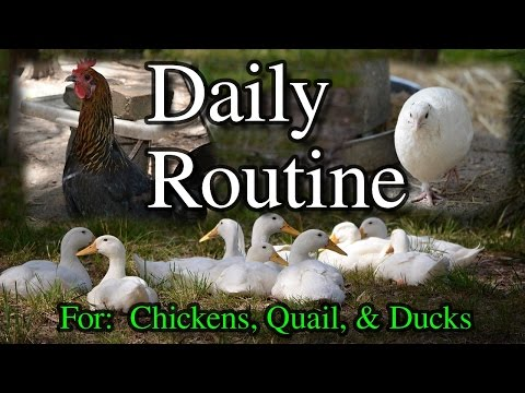 Daily Routine in the Poultry Pen for Chickens Ducks Quail