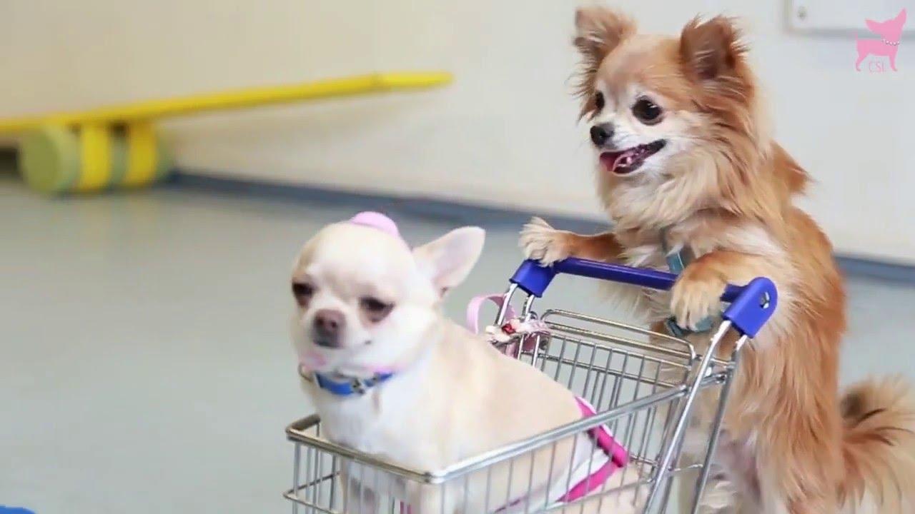 Chihuahua vous préférez les poils court ou long ? - YouTube