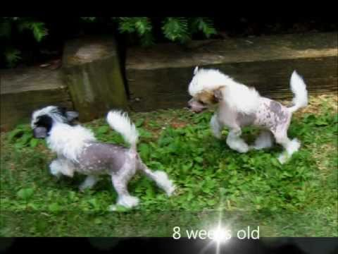 Hairless Chinese Crested Female Dog - World Class Dog Www.crested.us